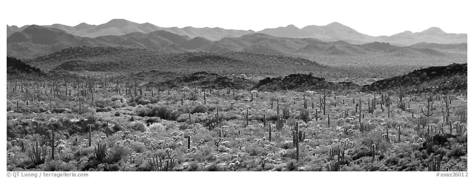 Desert landscape with cactus and distant mountains. Organ Pipe Cactus  National Monument, Arizona, USA (black and white)