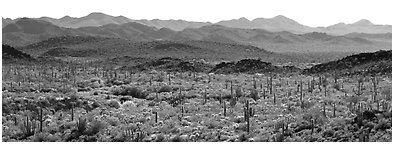 Desert landscape with cactus and distant mountains. Organ Pipe Cactus  National Monument, Arizona, USA (Panoramic black and white)