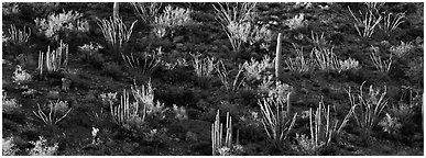 Desert hillside in shadow with sunlit cactus. Organ Pipe Cactus  National Monument, Arizona, USA (Panoramic black and white)