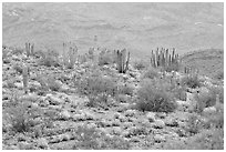 Organ pipe cactus and brittlebush on hillside, North Puerto Blanco Drive. Organ Pipe Cactus  National Monument, Arizona, USA (black and white)