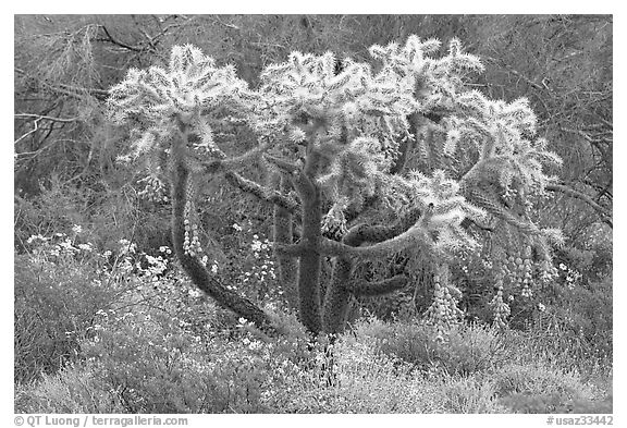 Chain fruit cholla cactus and brittlebush in bloom. Organ Pipe Cactus  National Monument, Arizona, USA (black and white)