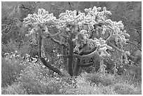 Chain fruit cholla cactus and brittlebush in bloom. Organ Pipe Cactus  National Monument, Arizona, USA ( black and white)