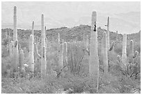 Saguaro cacti. Organ Pipe Cactus  National Monument, Arizona, USA ( black and white)