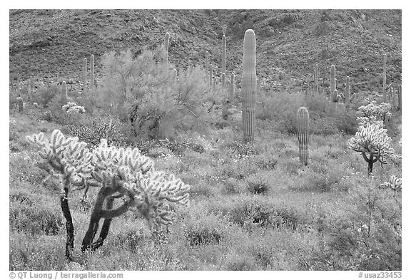 Cactus and annual flowers. Organ Pipe Cactus  National Monument, Arizona, USA (black and white)