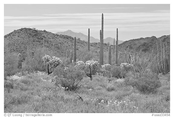 Cactus, annual flowers, and mountains. Organ Pipe Cactus  National Monument, Arizona, USA (black and white)