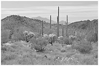 Cactus, annual flowers, and mountains. Organ Pipe Cactus  National Monument, Arizona, USA ( black and white)