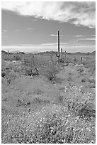 Britlebush in bloom, saguaro cactus, and mountains. Organ Pipe Cactus  National Monument, Arizona, USA ( black and white)