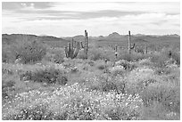 Desert in bloom with britlebush,  saguaro cactus, and mountains. Organ Pipe Cactus  National Monument, Arizona, USA ( black and white)