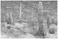 Group of Saguaro cactus amongst flowering brittlebush. Organ Pipe Cactus  National Monument, Arizona, USA ( black and white)
