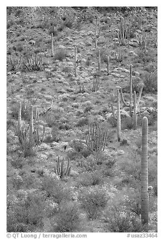 Slope with cactus and brittlebush, Ajo Mountains. Organ Pipe Cactus  National Monument, Arizona, USA (black and white)