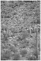 Slope with cactus and brittlebush, Ajo Mountains. Organ Pipe Cactus  National Monument, Arizona, USA ( black and white)