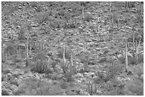 Hillside with cactus and brittlebush in bloom, Ajo Mountains. Organ Pipe Cactus  National Monument, Arizona, USA (black and white)