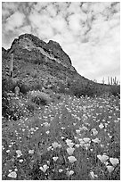 Mexican Poppies, cactus,  and Deablo Mountains. Organ Pipe Cactus  National Monument, Arizona, USA (black and white)
