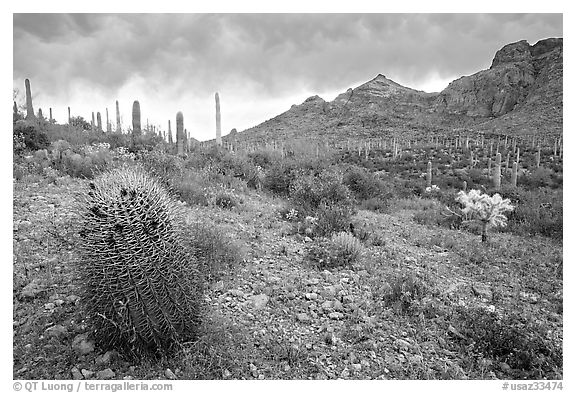 Barrel cactus, Ajo Mountains, and dark clouds. Organ Pipe Cactus  National Monument, Arizona, USA (black and white)