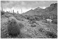 Barrel cactus, Ajo Mountains, and dark clouds. Organ Pipe Cactus  National Monument, Arizona, USA ( black and white)
