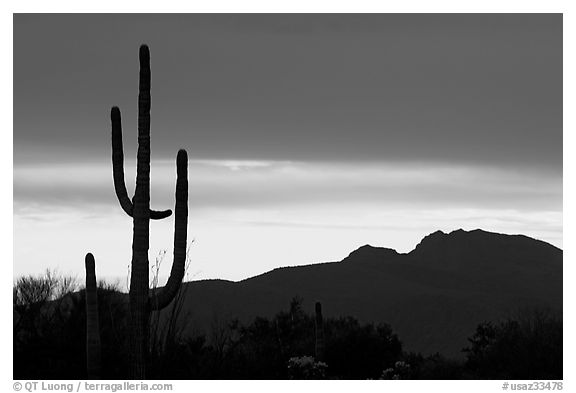 Saguaro cactus silhouetted at sunset. Organ Pipe Cactus  National Monument, Arizona, USA (black and white)