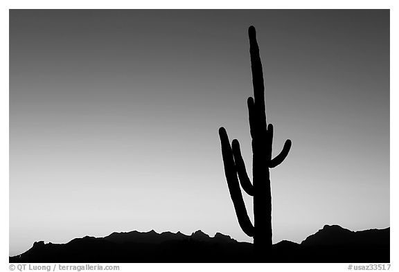 Multi-armed saguaro cactus, sunset, Lost Dutchman State Park. Arizona, USA (black and white)