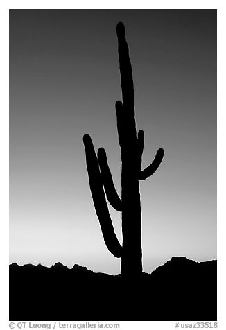 Saguaro cactus silhoueted at sunset, Lost Dutchman State Park. Arizona, USA (black and white)