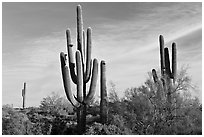 Old saguaro cacti, Lost Dutchman State Park. Arizona, USA (black and white)