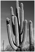 Old saguaro cacti, Lost Dutchman State Park. Arizona, USA ( black and white)