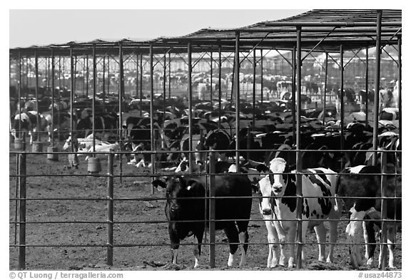 Beef cattle in feedyard, Maricopa. Arizona, USA (black and white)