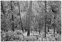 Pine trees, Apache National Forest. Arizona, USA (black and white)