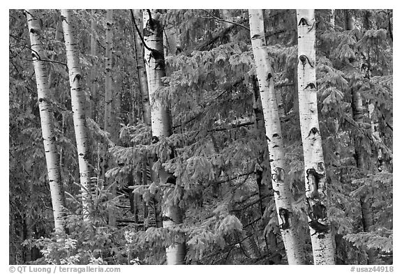 Aspens and conifers, Apache National Forest. Arizona, USA (black and white)