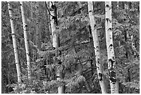 Aspens and conifers, Apache National Forest. Arizona, USA ( black and white)