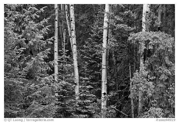 Mixed woodland with aspens and evergreens, Apache National Forest. Arizona, USA (black and white)