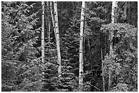 Mixed woodland with aspens and evergreens, Apache National Forest. Arizona, USA ( black and white)
