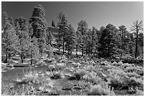Cinder and pine trees, Coconino National Forest. Arizona, USA ( black and white)