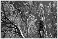 Paloverde and Cactus. Organ Pipe Cactus  National Monument, Arizona, USA (black and white)