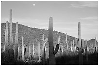 Saguaro cactus and moon. Organ Pipe Cactus  National Monument, Arizona, USA (black and white)