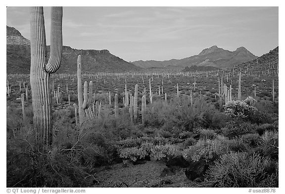 Cacti, Diablo Mountains, dusk. Organ Pipe Cactus  National Monument, Arizona, USA (black and white)