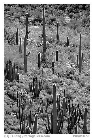 Cactus on hillside. Organ Pipe Cactus  National Monument, Arizona, USA (black and white)