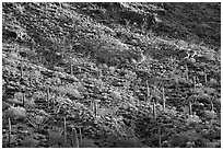 Saguaro and Ocotillo  on a slope. Organ Pipe Cactus  National Monument, Arizona, USA ( black and white)