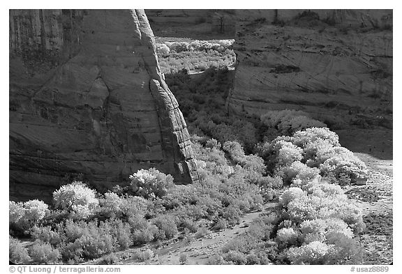 Cottonwoods in fall color and walls, White House Overlook. Canyon de Chelly  National Monument, Arizona, USA (black and white)