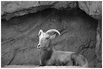 Desert Bighorn sheep, Arizona Sonora Desert Museum. Tucson, Arizona, USA ( black and white)