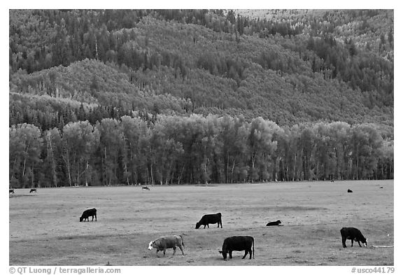 Cows in meadow and aspen covered slopes in spring. Colorado, USA (black and white)