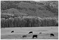 Cows in meadow and aspen covered slopes in spring. Colorado, USA ( black and white)