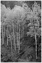 Aspen trees with new spring leaves. Colorado, USA (black and white)
