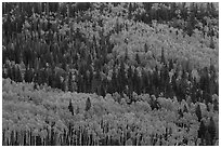 Aspens in fall foliage mixed with conifers, Rio Grande National Forest. Colorado, USA (black and white)
