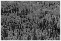 Slope with aspens in autumn color, Rio Grande National Forest. Colorado, USA (black and white)