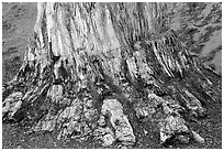 Petrified stump, Florissant Fossil Beds National Monument. Colorado, USA ( black and white)