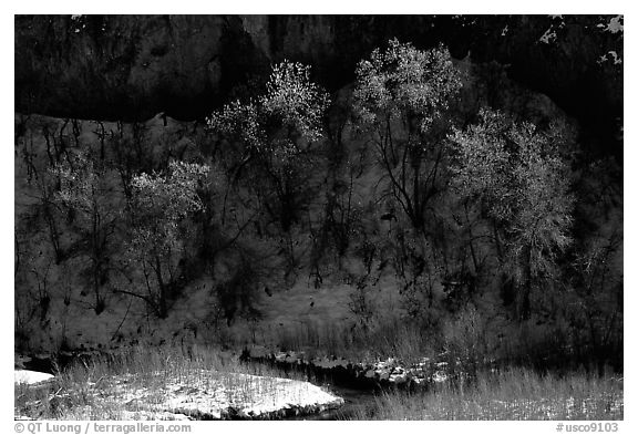 Trees in winter, Riffle Canyon. Colorado, USA (black and white)