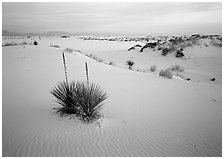 Yuccas and gypsum dunes, dawn. White Sands National Monument, New Mexico, USA (black and white)