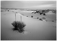 Yucca and white gypsum sand at sunrise. White Sands National Monument, New Mexico, USA (black and white)