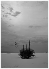 Lone yucca plants at sunset, White Sands National Monument. New Mexico, USA ( black and white)