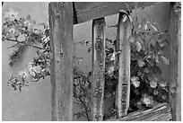 Door and roses, Chimayo Shrine. New Mexico, USA ( black and white)
