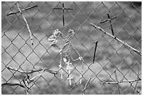 Chain-link fence with rosaries and improvised crosses, Sanctuario de Chimayo. New Mexico, USA ( black and white)